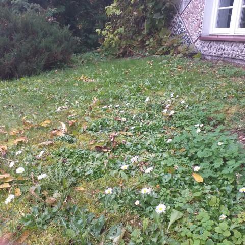 Jesień i kwitnące stokrotki w Jasionówce 13.102019